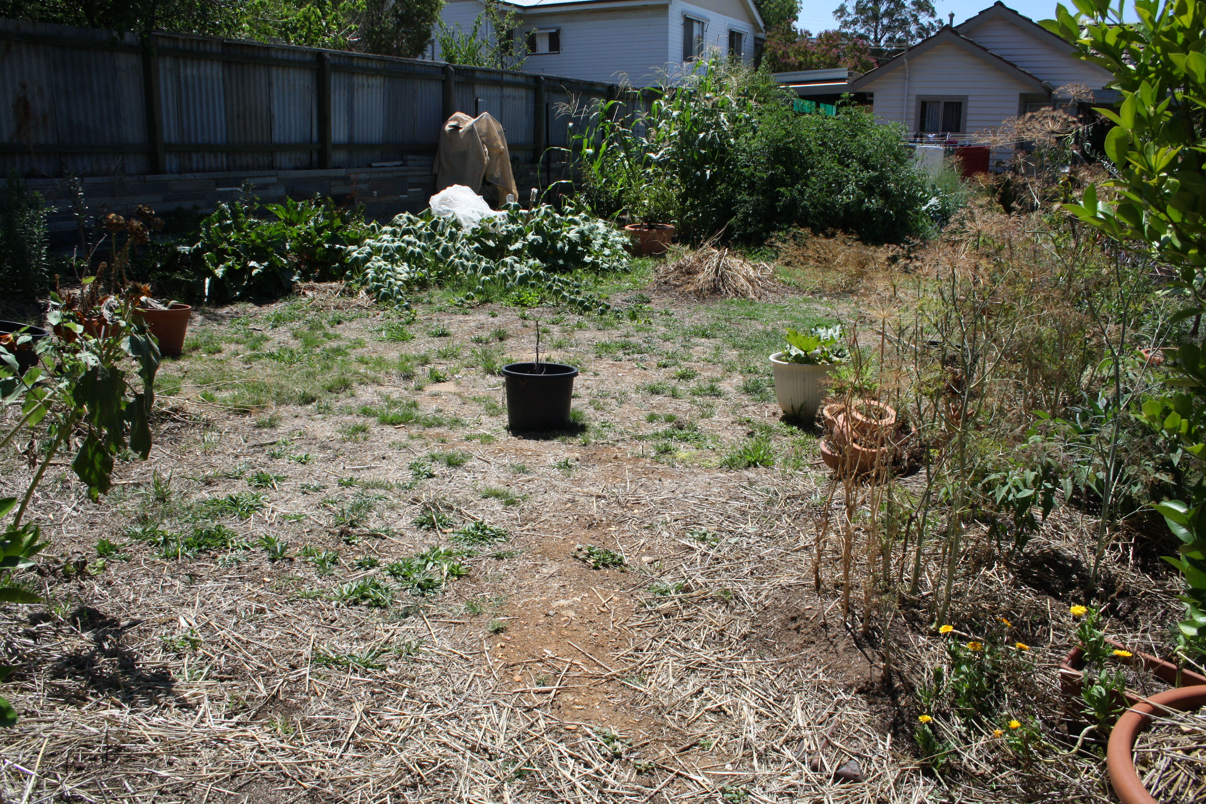 100 growing corn in your backyard growing urban corn